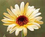 Marigold (Calendula officinalis) by rajaced