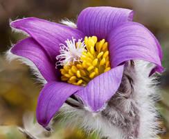 Anemone pulsatilla var. costeana by rajaced
