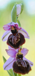 Ophrys aveyronensis by rajaced