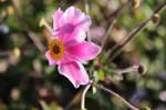 Windblown Pink Flower by emilymh2018