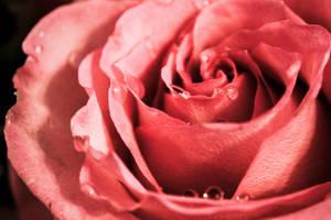 Flowering Pink Rose by emilymh2018