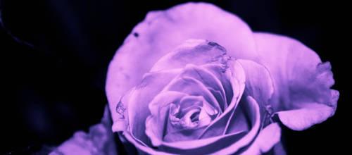 Flowering Lavender Rose by emilymh2018