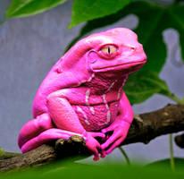 PinkTreefrog by WaltervanSanten