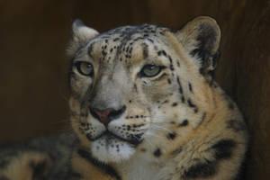 Snow Leopard by DPasschier