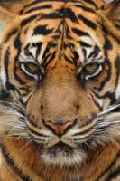 Sumatran Tiger by DPasschier