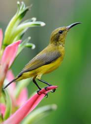 Olive-backed Female Sunbird .0227 by DPasschier