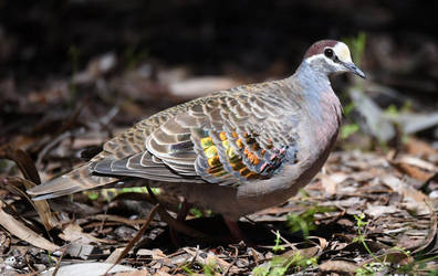 Common Bronzewing (Male) 8042 by DPasschier