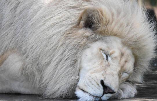 White Lion 0779 by DPasschier