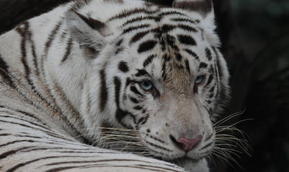 White Tiger.9626 by DPasschier