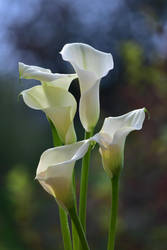 Calla Lilies by Heidi-V-Art