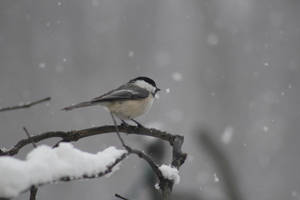 Black-capped Chickadee by Ko-rel