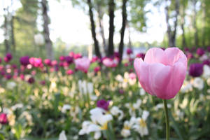 tuLIPS by TANTTA69