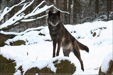 Black Timberwolf 1 by Khalliysgraphy