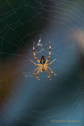 Cross spider by WildGepard