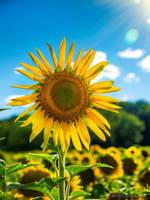 Sunflower by Dracoart