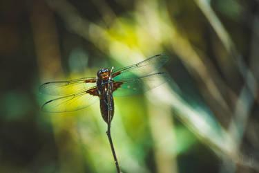 Dragonfly by Daduunka