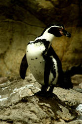 Posing penguin by BenJuarez