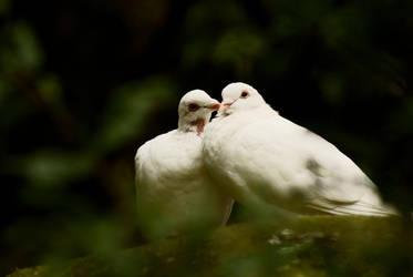 Doves by BenJuarez