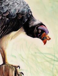 King vulture by BenJuarez