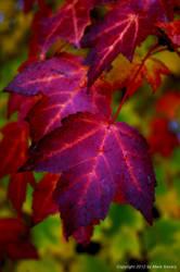 Purple Leaf by autumnlakecomic