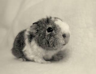 Baby guinea pig 2 by KatharineGoodchild