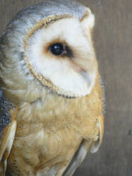 Barn Owl 01 by MelFeanen