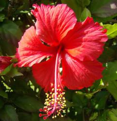 Hibiscus by StrawberryGiraffe
