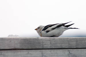 snow bunting 7 by LucieG-Stock