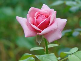 march rose by aragornsparrow