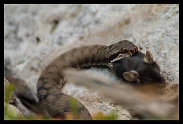 Asp Viper - Feeding by stetre76
