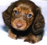 Long-hair Dachshund: Chocolate by dogs