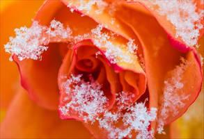 Frozen Rose by Aenea-Jones