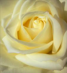 Soft Petals by Aenea-Jones