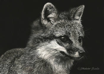 Gray Fox - Scratchboard by ShaleseSands