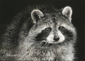 Raccoon Study - Scratchboard by ShaleseSands