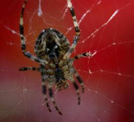 Spider_5 by Kemen1777