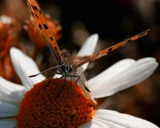 Butterfly_007 by Kemen1777