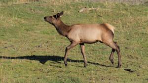 Elk 10 by Eltear-Stock