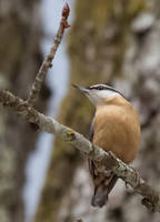 Sitta europaea (European nuthatch) by luka567