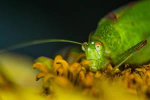 Grasshopper on a flower by luka567