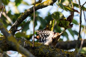 Woodpecker by luka567