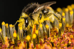 Hairy one - Bumblebee by luka567
