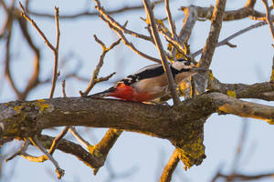 The great spotted woodpecker (Dendrocopos major) by luka567