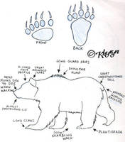 Bear Study 4 by Khyryn