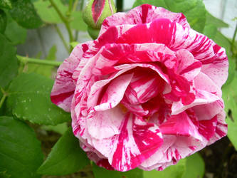 Heirloom Rose by liselfwench