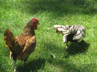 bird-Chicken-hen-1-by marjan khoshro by khoshro