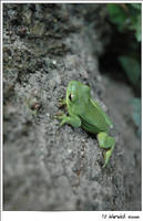 Tree Frog Staredown by xXbleedingXredsoulXx