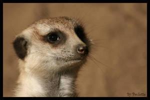 Closeup meerkat by shutterbugmom