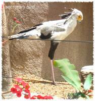 secretary bird by shutterbugmom