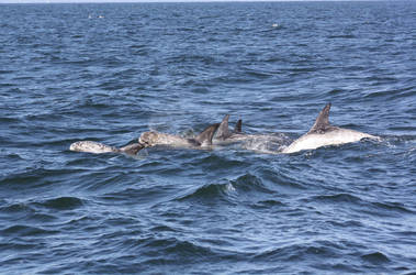 Rissos Dolphins 0410112 by OrcinusPacifica